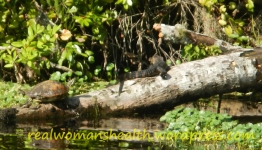 Gator and turtle sharing the log