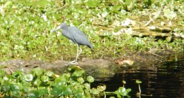 River Blue Heron