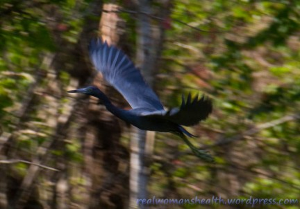 Little Blue Heron?