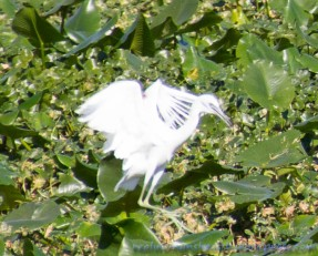 Ghost Egret