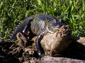 Gator Hammock