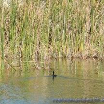 Grassy Duck