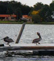 Pelican Gang