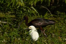 Snowy Egret with Glossy Ibis