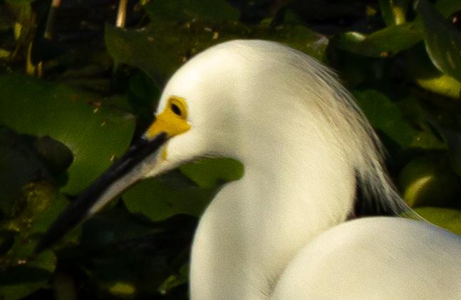 Florida Great Egret
