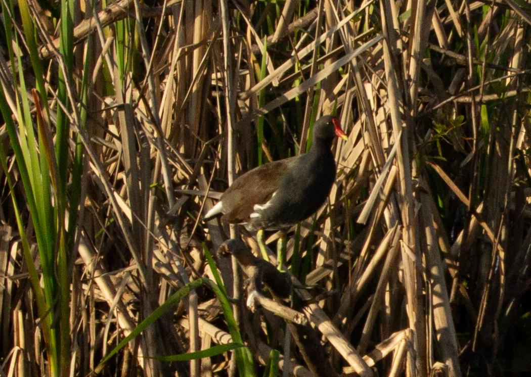 Florida Common Moorhen