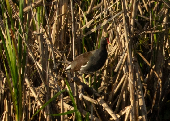 Florida Common Moorhen