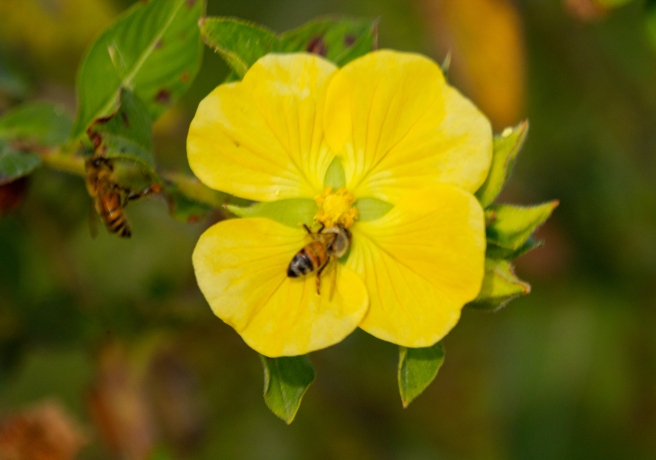 Honey Bees yellow wild flower in Florida Wetland